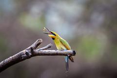 Rainbow Bee Eater (GPTPhotography) Tags: flikr