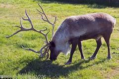 Caribou (Vurnman) Tags: 2016 vacation alaska caribou grazing grass antlers rack alaskawildlifeconservationcenter portage