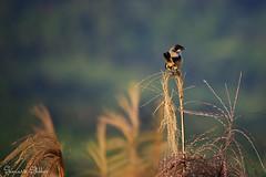 The view is always better from the top (Sumarie Slabber) Tags: grass tagaytay philippines bird birding nikond750 nature birdwatching animal fauna flora naturewatcher