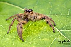 H. diardi (mygale.de) Tags: red tarantula wallpaper vogelspinne earthtiger birdeater macro photography makro fotografie terrarien terraristik spinnen araneae spiders spider schärfentiefe tier
