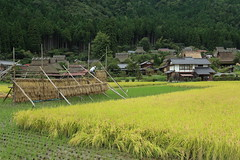 Harvest (Teruhide Tomori) Tags:       tradition architecture house construction building miyama nantan countryside  ricefield autumn nature mountain green landscape