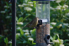 Greenfinch - 1 (basswulf) Tags: greenfinch d40 70300mmf456g lenstagged unmodified 32 image:ratio=32 permissions:licence=c 20160527 201605 3008x2000 garden normcres oxford england uk birdfeeder
