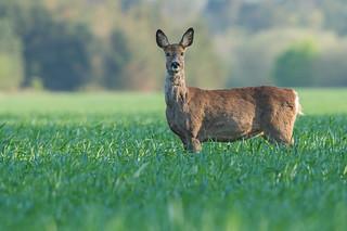Pregnant Roe Deer doe