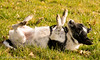 Nibbler enjoying a roll around (Mr Whites Paw Prints) Tags: dog jackrussell rolling nibbler