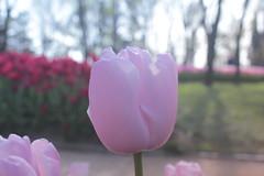 _MG_4313 (Gkmen Kmrt) Tags: flower tulip 2015 emirgan laleler