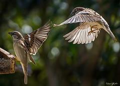 Prt de la mangeoire, Les Tourrettes 26 Drme France (caffin.jacques3) Tags: en birds flying vol sparrows oiseaux moineaux