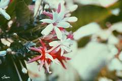 Old days (iSam's) Tags: old pink flowers plants white flower vintage sony honeysuckle creeper rangoon 2015 indicum isam combretum vsco a6000