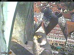 Peregrine Falcon ( Wanderfalke ) breeding season in the Stadtkirche, Esslingen am Neckar (tedesco57) Tags: nest breeding falcon eggs neckar kestrel esslingen eier stadtkirche turmfalke