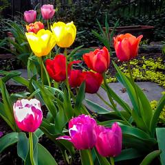 Tulips Announce Spring-3687 (kcadpchair) Tags: wood flower spring violet dandelion lilac tulip wildflowers dogwood redbud worntree wornlog