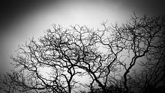 dry tree (Duc _ Pham) Tags: bw white black tree zeiss 1 den dry carl 5d cz mk trang 135mm f35 cây trắng đen khô cz135