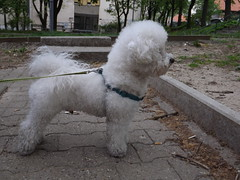 My beautiful baby (creepyweirdslove) Tags: dog baby white playing cute love dogs nature grass animals puppy fun puppies funny babies play serbia westie bichon belgrade beograd srbija
