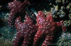 Starfish (Sandy Pictures) Tags: red beach water starfish pools laguna tidal tidalpool