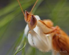 Orchid Mantis mature male (_papilio) Tags: macro mantis sony invertebrate papilio mantid arthropod a7ii coronatus orchidmantis hymenopus zeissmakroplanart100mmf2