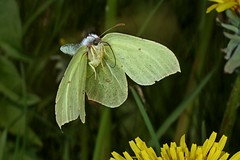 Rolf_Nagel-Fl-8821-Gonepteryx_rhamni (Insektenflug) Tags: gonepteryxrhamni gonepteryx rhamni zitronenfalter brimstone pieridae schmetterling fliegend flying flight airborne action highspeed entomology wildlife insects im wilhelmshaven aerodynamik deutschland fauna fliegen flug friesland tagfalter germany insekt insekten insektenflug weisling butterfly insect imflug inflight minoltaerokkor75mm erokkor minolta rokkor 75mm envole en vole
