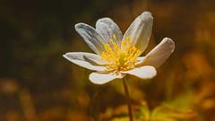 Windflower / Wood anemone (Subdive) Tags: flower spring sweden västerås anemonenemorosa windflower woodanemone