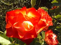 CAM07571 (fotokoci) Tags: flowers plant flower color colour verde green floral fleur colors beautiful beauty foglie leaf flora colorful natural blossom outdoor petal foliage growing fiori botany blume fiore colori pianta lule