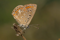 Lycaenidae (Rinaldo R) Tags: macro nature closeup butterfly insect focus stack lepidoptera stacking animale canonmpe mpe lycaenidae handhled canon6d licenide