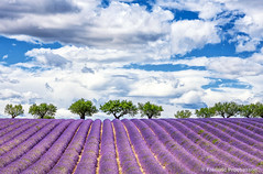 Horizontal view of lavender field (Prochasson Frdric) Tags: lavender field violet blooming azur square france nobody sunnylandscape lavendin herbal aroma flower alpesdehauteprovence fragrant summer provence light fragrance valensole picturesque abundance countryside lavande purple lines scented rows french provencealpescote colorful blue plant beauty outdoors scenic beautiful magenta scent aromatherapy landscape