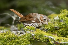 Fox Sparrow Passerella iliaca (Mark Peck Bird Photography) Tags: sparrow fox passerella iliaca