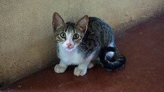 Farm Kitten (Mo Khalifa) Tags: farm cat finca gato gata kitten gatito elparaiso arauca colombia gatita kaetschen katze tier tiere animal mascota pet