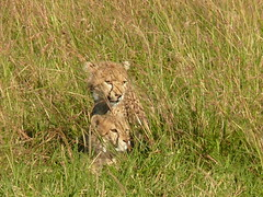 Baby Cheetahs (Mara 1) Tags: africa kenya masai mara wildlife wild cheetahs animals green grass faces outdoors