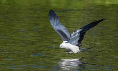 Swallow-tail Kite (jcfa_photography) Tags: swallowtailkite florida raptors skimming
