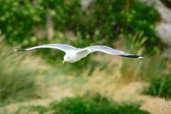 10072016DSC_1004.jpg (Ignacio Javier ( Nacho)) Tags: flickr aves gaviotas faunayflora
