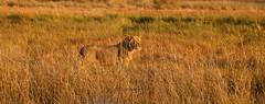 Morning Stroll III (www.mattprior.co.uk) Tags: adventure adventurer journey explore experience expedition safari africa southafrica botswana zimbabwe zambia overland nature animals lion crocodile zebra buffalo camp sleep elephant giraffe leopard sunrise sunset