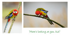 """Here's looking at you, kid."" (judith511) Tags: odc moviequote humphreybogart casablanca lorikeet whitecheekedlorikeet naturethroughthelens"
