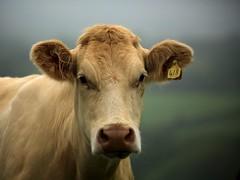 418 (peet-astn) Tags: worthammanor cow devon 418 lifton dof