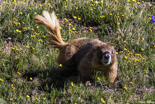Marmot Going for a Walk
