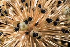 Allium-Samenkapseln - Allium seeds (riesebusch) Tags: berlin garten marzahn