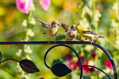 Father and Juvenile American Goldfinches (wanderinggrrl) Tags: alamy picofweek shutterstock year4week10 americangoldfinch baby bird eating feathers feeding finch garden juvenile northamerica ornithology parent perched perching songbird usa wildlife wing young