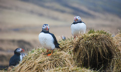 home sweet home in Borgarfjordur Eystri (lunaryuna) Tags: iceland puffins lundi seabirds papageientaucher northeasticeland borgarfjordureystri nestingseason puffincolony nestingborrow