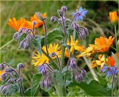 In Summer Garden (swetlanahasenjger) Tags: kologie gartenblumen borresch ringelblumen vietow saariysqualitypictures coth ngc coth5 sunrays5 npc