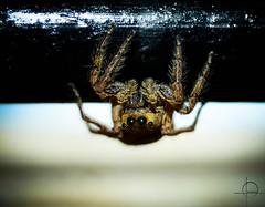 spider (Naveen Gopalakrishnan) Tags: spider eyes macro nikon d3200 upclse addiction photography flickr love