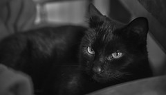 The eyes are the window to the soul (Angela Grant photography (Not enough hours in the ) Tags: portrait blackandwhite pet monochrome animal cat nikon feline d810