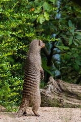 _MG_5124 (emilhallengren) Tags: park animal zoo mongoose herbivore bandedmongoose bors borsdjurpark