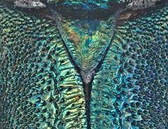 Malayanochroma cheongae Bentanachs & Drouin, 2013 Male Scutellum (urjsa) Tags: coleoptera kfer beetle insect cerambycidae malayanochroma malaysia geo:country=malaysia taxonomy:order=coleoptera kaefer taxonomy:genus=malayanochroma suedostasien southeastasia sdostasien taxonomy:family=cerambycidae coleopteraus cheongae malayanochromacheongae taxonomy:species=malayanochroma taxonomy:binomial=malayanochromacheongae scutellum
