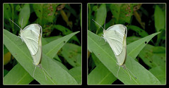 X Marks The Spot - Crosseye 3D (DarkOnus) Tags: pieris rapae small cabbage white butterfly butterflies x marks spot mating hump humping insect insecthumpday hihd ihd pennsylvania buckscounty huawei mate8 cell phone 3d stereogram stereography stereo darkonus closeup macro crossview crosseye