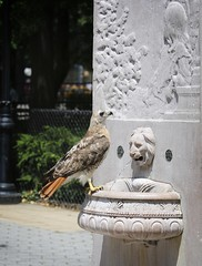 Christo at the General Slocum memorial (Goggla) Tags: nyc new york manhattan east village tompkins square park urban wildlife bird raptor red tail hawk adult male christo molt molting general slocum disaster memorial water fountain