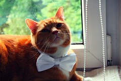 Best Man (rama.photo) Tags: cat red tiger best man wedding bow tie katze kater pet haustier domesticated