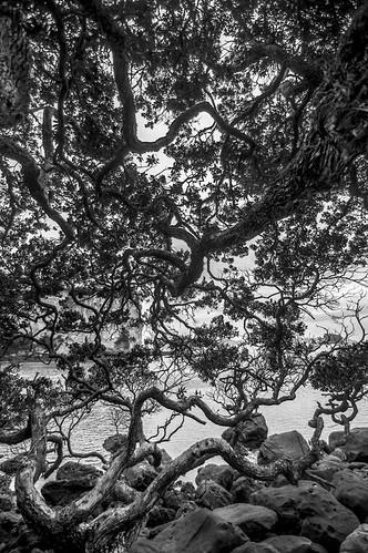 Pohutukawa - Stingray Bay