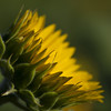 Coup de projecteur **--- °° (Titole) Tags: sunflower squareformat titole jaune yellow green nicolefaton friendlychallenges unanimouswinner thechallengefactory