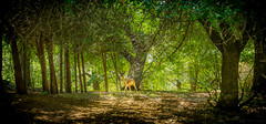 deer (Nikos Kopanidis) Tags: macedoniagreece macedonian makedonia timeless  deer nikon d7000  kozani