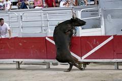 Camargue Bull Races - Course Camarguaise - Arles 20 juillet 2016 (Nemodus photos) Tags: fz1000 coursecamarguaise bull bullfighting taureau bullfightingincamarguestyle