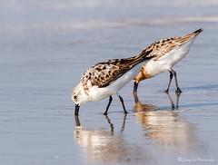 Sanderlings working hard on breakfast (liqingxu100) Tags: red knots birds seabirds animals beach water ocean sand long island nickerson wildlife