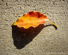 244366  01 September 2016  dry leaf on concrete (Doug Churchill) Tags: 365 366 sonyrx100m3 alone arid cement closeup closeups concrete dead death deaths dry foliage highangleview highangleviews highcontrast leaf leaflet loneliness lonely macro macromondays macros melancholy project project366 sad sadness