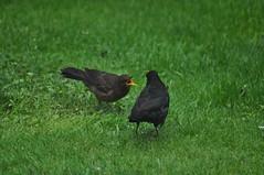 """What's for dinner?"" (Latimer's Paradox) Tags: birds gardenbirds blackbirds juvenileblackbird birdsfeeding turdusmerula turdidae"