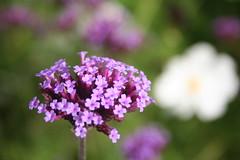 IMG_4580 (ianharrywebb) Tags: edinburgh iansdigitalphotos royalbotanicgardens flowers flower